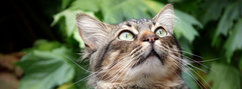 Kissan silmin
