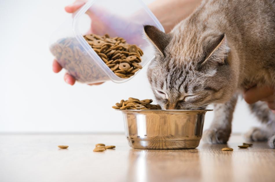 Kissan Käyttäytyminen